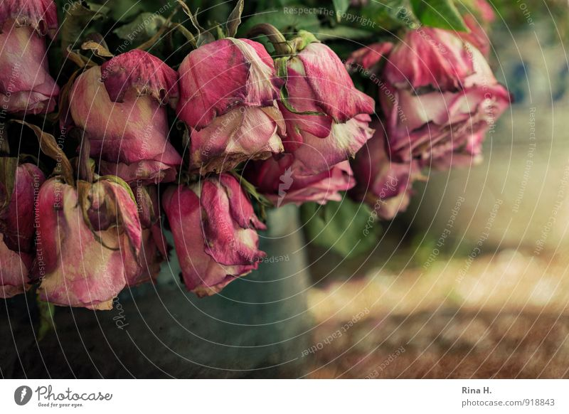 Melancholia Rose alt verblüht dehydrieren rosa rot Müdigkeit Verfall Vergänglichkeit krankhaft Blüte Stillleben Vase Blumenstrauß Farbfoto Gedeckte Farben