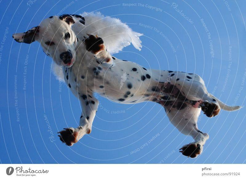 Flughund - 1 Hund Dalmatiner Dalmatien gepunktet getupft Froschperspektive weiß schwarz hängen Begleiter Säugetier dalmatian dalmation Punkt Fleck Himmel blau