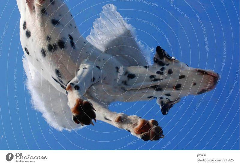 Flughund - 2 Himmel weiß blau schwarz oben Hund Punkt hängen Fleck Säugetier Tier gepunktet Begleiter Dalmatiner getupft Dalmatien