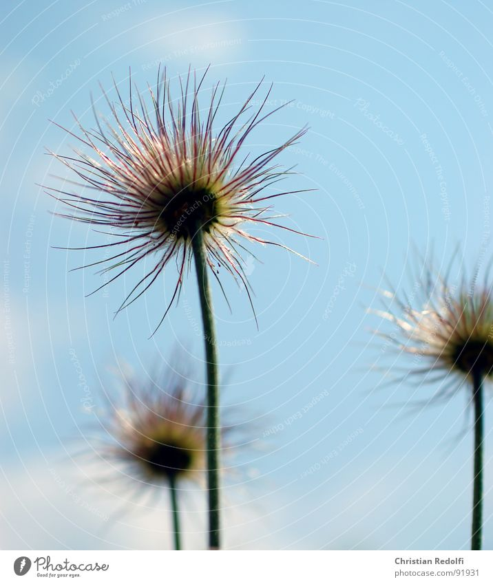 Pulsatilla verblüht Pflanze Blume Stauden Stengel Unschärfe Fortpflanzung pulsatilla Fruchstand Samen Nähgarn Himmel Sonneneinstrahlung