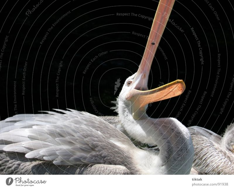 FangdieFliege Pelikan Vogel Tier Feder Schnabel Wildnis Appetit & Hunger fangen Momentaufnahme Flügel Wasservogel Natur fliegen Jagd zuschnappen lustig Kontrast