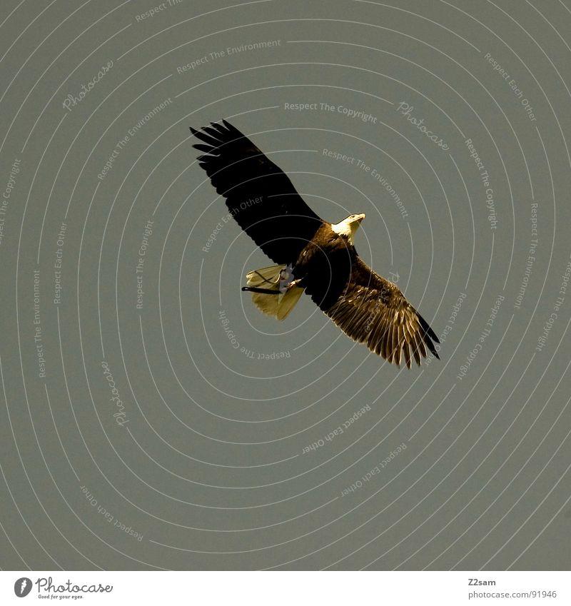 herr der lüfte Herr Luft Vogel Adler Schnabel Tier Lebewesen Federvieh Macht groß stark Greifvogel töten Jäger USA eagle Flügel Deutschland fliegen fly frei