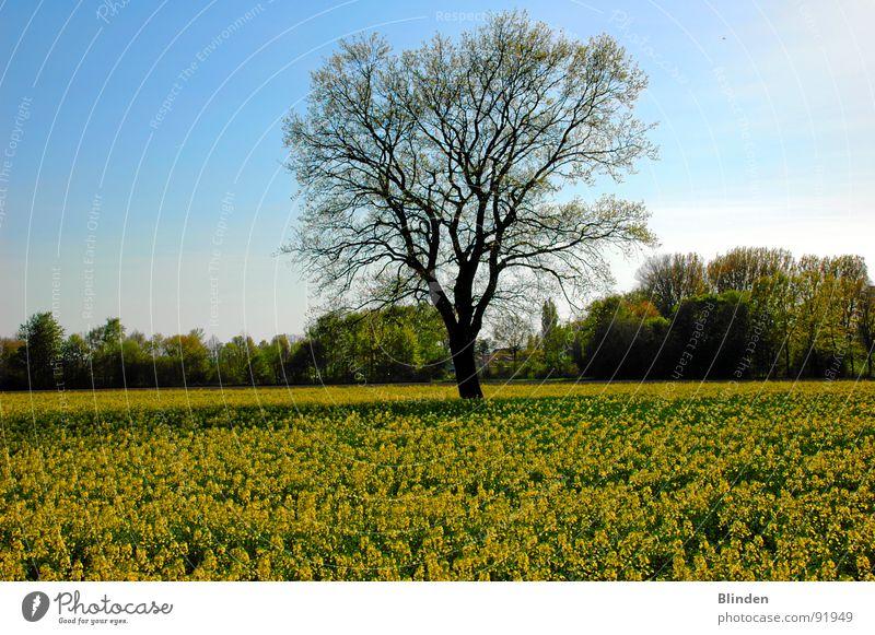 Baum im Rapsfeld Natur Baum ruhig Blüte Frühling Freiheit Blauer Himmel Rapsfeld