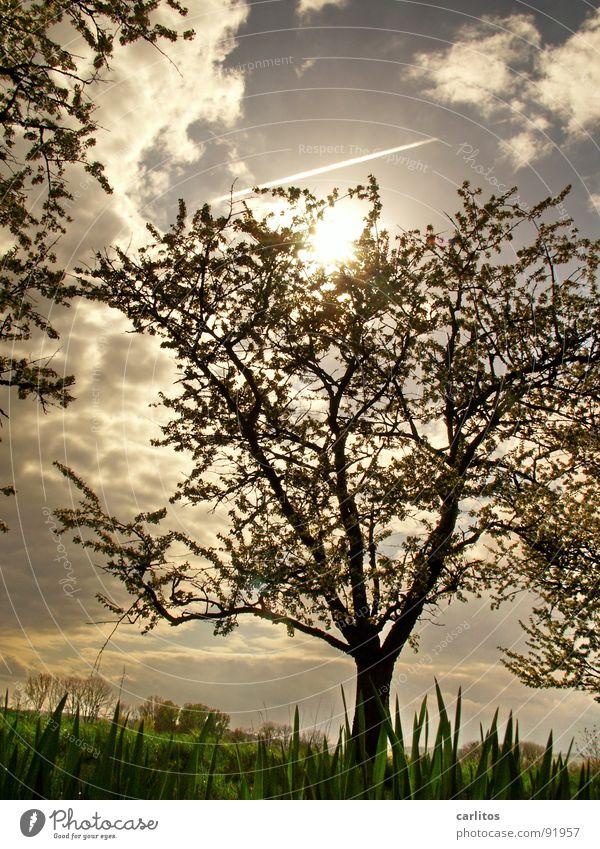 Baum again Gegenlicht Frühling Blatt Blattknospe Photosynthese Sauerstoff Blattgrün Blüte Obstbaum Feldmark Bilderrätsel Froschperspektive Wolken Silhouette