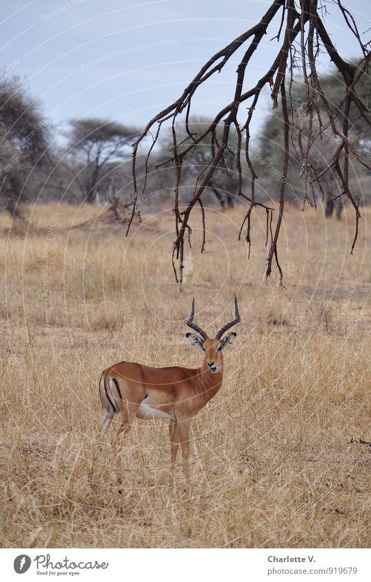 Blattschuss Natur blau ruhig Tier Leben grau Freiheit braun elegant Wildtier stehen warten ästhetisch Ast Neugier Afrika