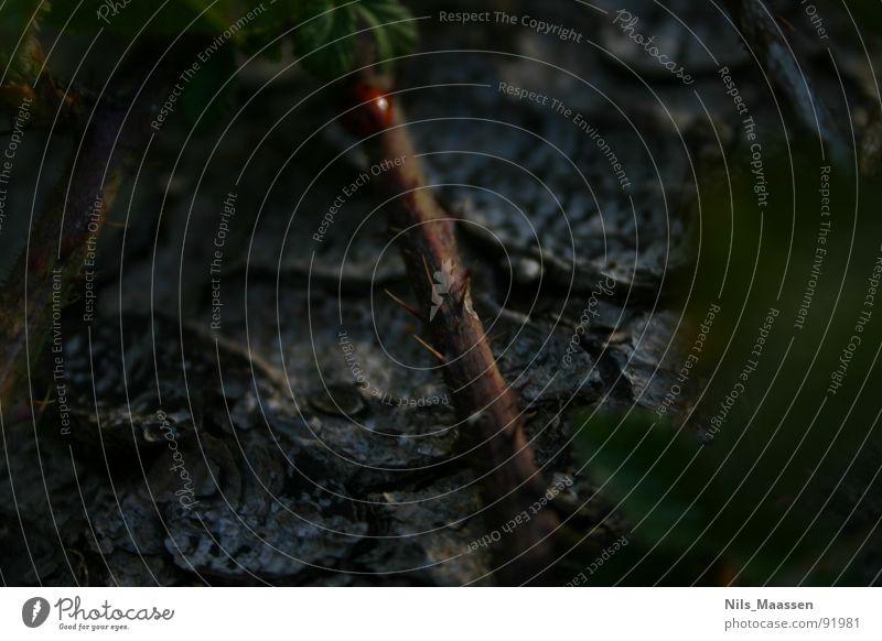 Mutiger Marienkäfer ;) Baumrinde Dorn Insekt Unschärfe Baumstamm dunkel große Blende Makroaufnahme