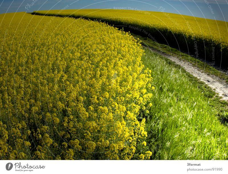 rapsfeld Raps Pflanze gelb grün Frühling Feld Rapsfeld Landwirtschaft Honig Biene Blüte Blume ökologisch Spuren Grenze Schneise Fußweg Wiese Märchen träumen