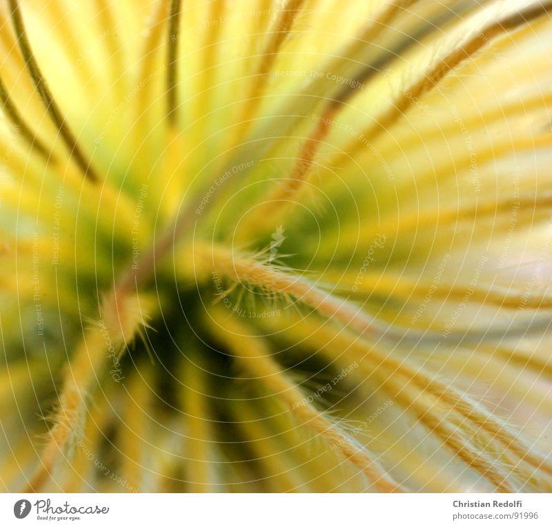 Pulsatilla ganz nah Fortpflanzung Pflanze Stengel Blume Unschärfe Stauden gelb Fruchstand Samen Nähgarn verblüht Sonneneinstrahlung Harre