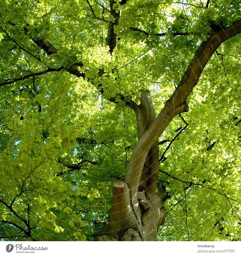 stammbaum III Baum grün Blatt Baumkrone Baumstamm Baumstruktur Gartenbau Frühling Park Natur Ast Landschaft Zweig Aktien