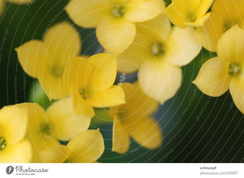 Gelb gelb Blume grün Pflanze Zimmerpflanze ruhig schön anmutend Gruß bestäuben Blüte harmonisch satt Kraft einfarbig diagonal mehrere Makroaufnahme 4 Frühling