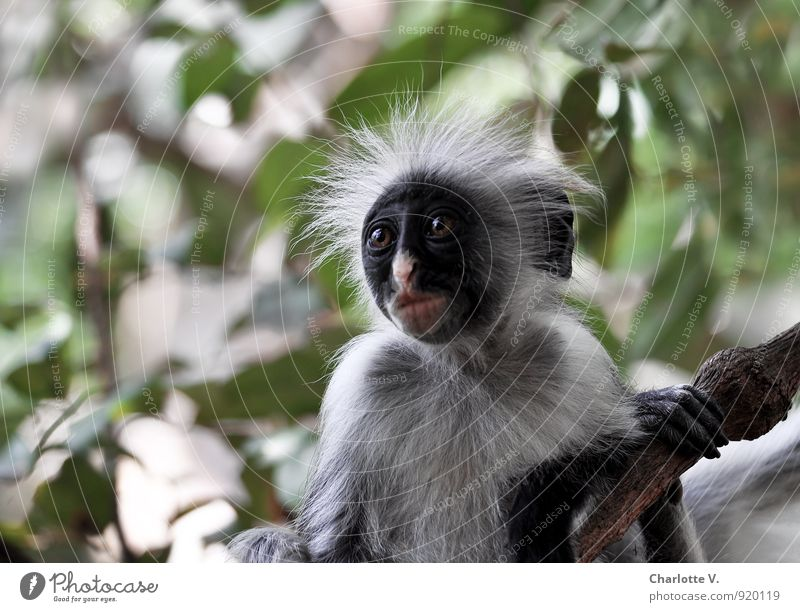 Ich hab´ nix gemacht... Natur grün Baum Blatt Tier schwarz Tierjunges grau Wildtier verrückt Insel festhalten Afrika Tiergesicht Urwald kuschlig