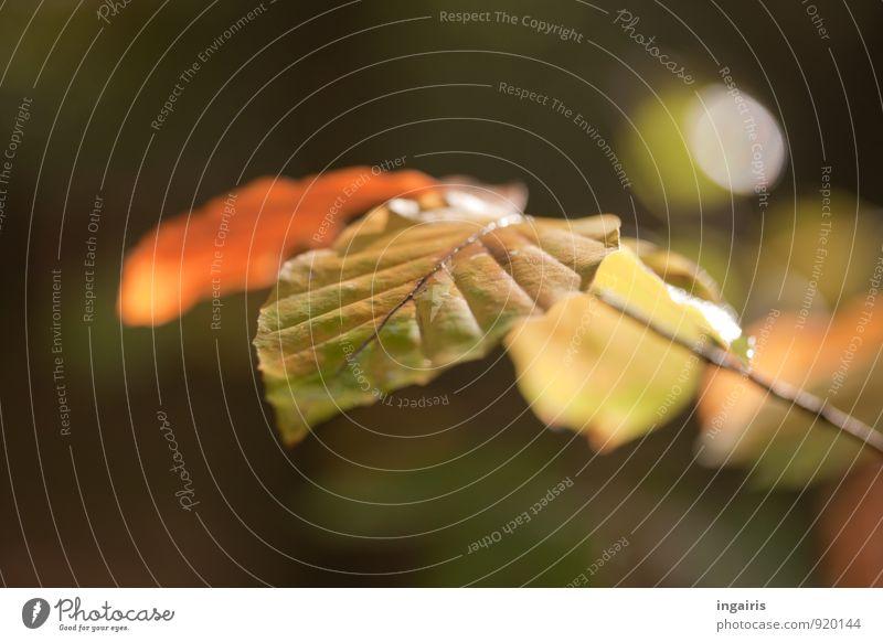 herbstnah Natur Pflanze Herbst Blatt Buchenblatt Zweig Wald glänzend hängen dehydrieren braun grün Klima Stimmung Unschärfe welk Farbfoto Außenaufnahme