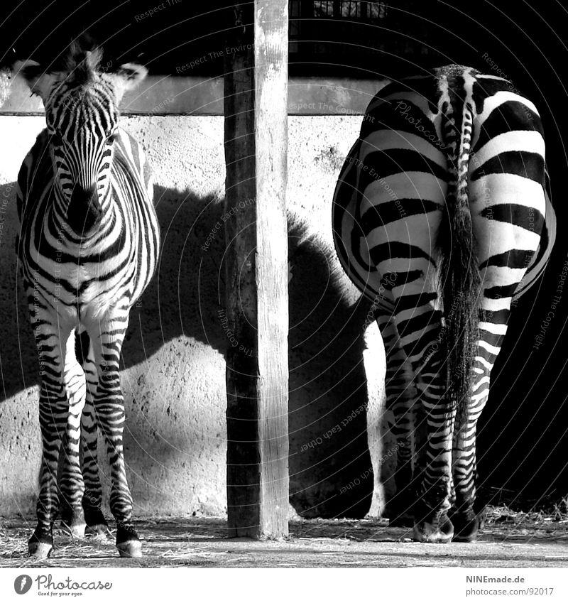 Von hinten wie von vorn ... Tier Fotografie lustig süß Afrika Schatten Streifen Zoo Quadrat niedlich Säugetier Säule Schwarzweißfoto Trennung Pfosten Übergang