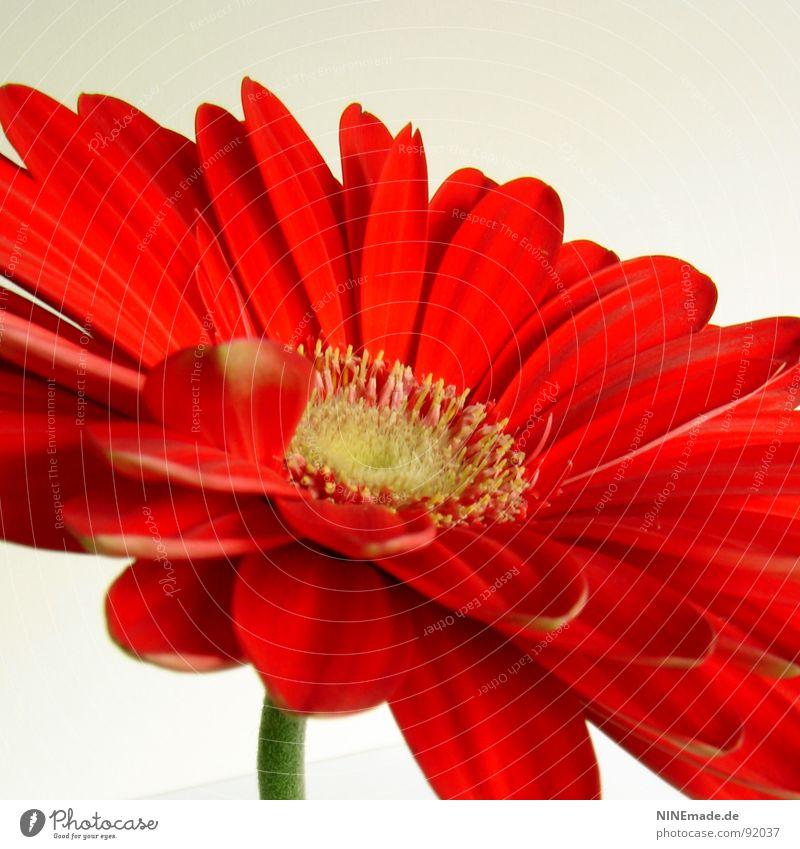 Lady in red ... Gerbera Korbblütengewächs Blume Blüte Blütenblatt rot gelb grün beige Unschärfe Stengel Quadrat Mitte Frühling Makroaufnahme Nahaufnahme gerbara