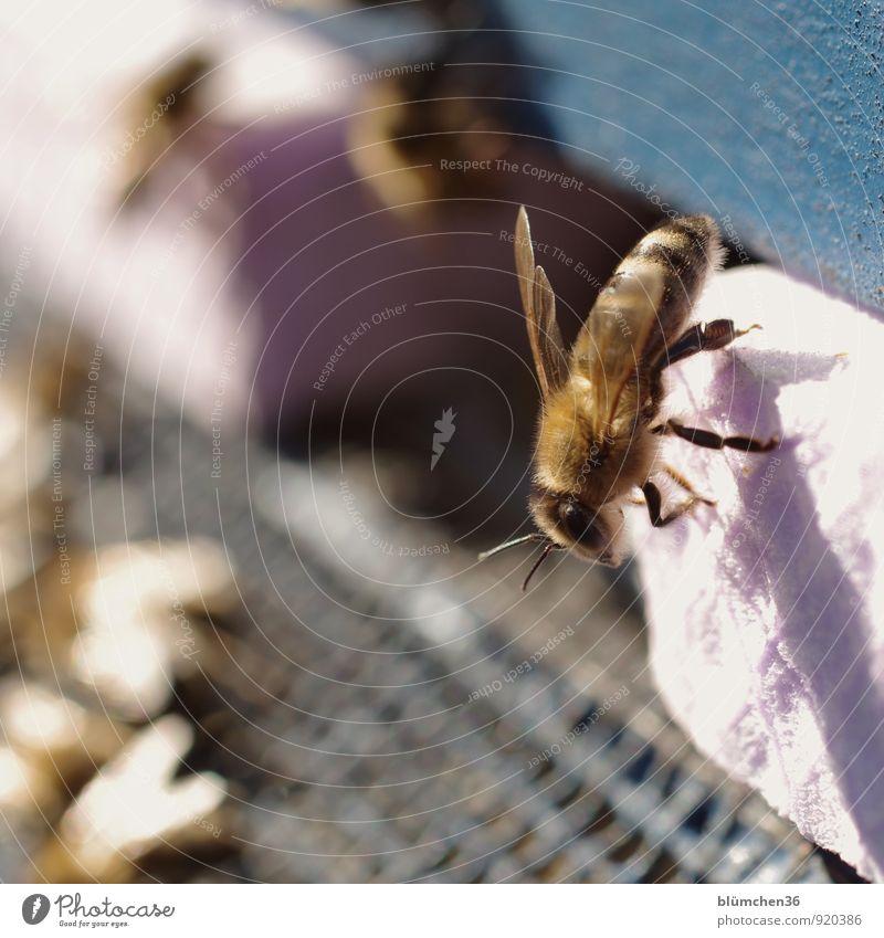 Sonnenbad Tier Nutztier Wildtier Biene Honigbiene Insekt Flügel Fell Fühler Auge Beine klein natürlich schön feminin fleißig emsig diszipliniert