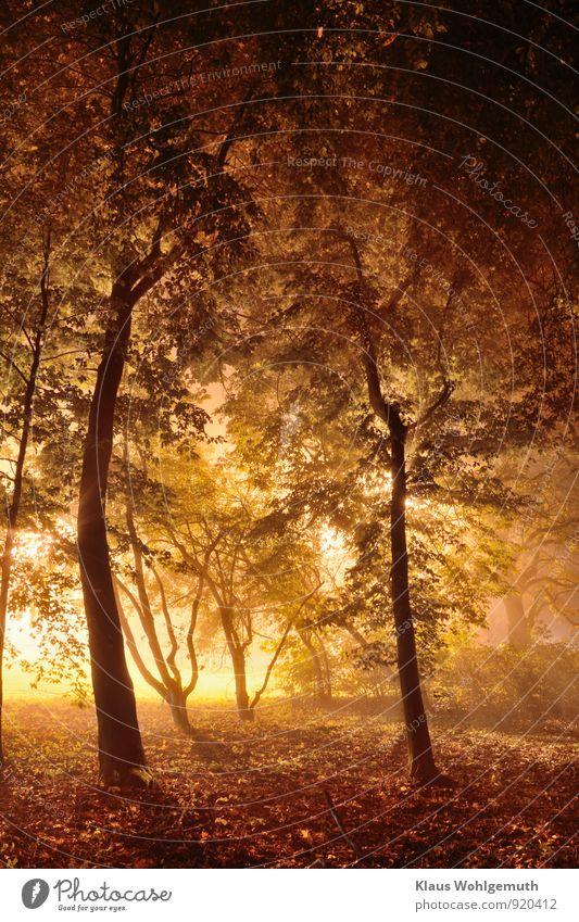 Zauberlicht im Wunderwald Umwelt Natur Landschaft Herbst Pflanze Baum Sträucher Blatt Park Wald leuchten ästhetisch braun gelb grau grün schwarz Romantik Nebel