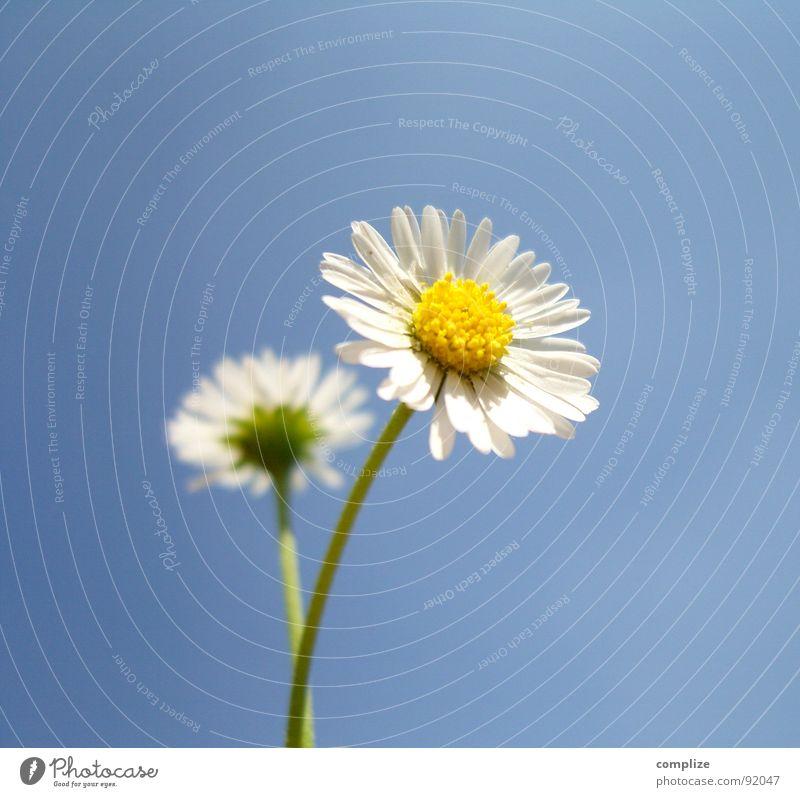 romantische impression magarita Himmel Natur Pflanze blau schön Sommer weiß Blume Einsamkeit gelb Frühling natürlich 2 Wachstum authentisch Trauer