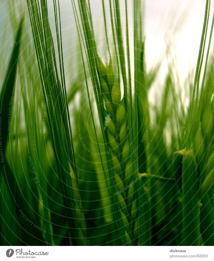 ...ährenvoll im wind... Ehre Feld honorig grün Hund stur Fußweg verweht Getreide Weizen? SamstagNachmittag Wind Spazierngehen dem Dicknase Wald und Wiesen