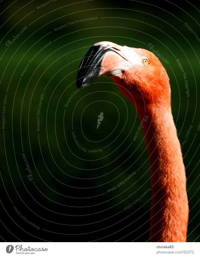 Mr. Pink Flamingo rosa Zoo Florida Miami Ferien & Urlaub & Reisen Tier Vogel Schnabel Körperhaltung Hals langer Hals bird Kotrast