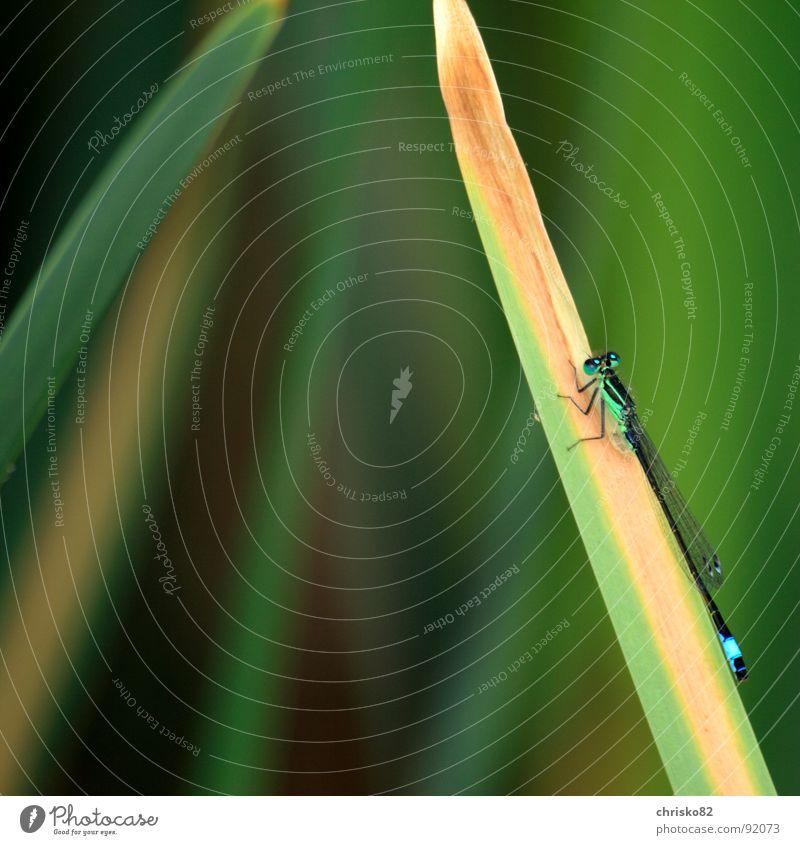 Hangin` around Natur Pflanze ruhig Tier Flügel zart Insekt dünn Schilfrohr filigran Libelle