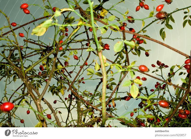 Angeblitzte Hagebutten Garten Herbst Schrebergarten Hundsrose Frucht Beeren Ernte Herbstfärbung Saison Himmel Wolken Sträucher Rose kletterrose Wildrosen Ranke