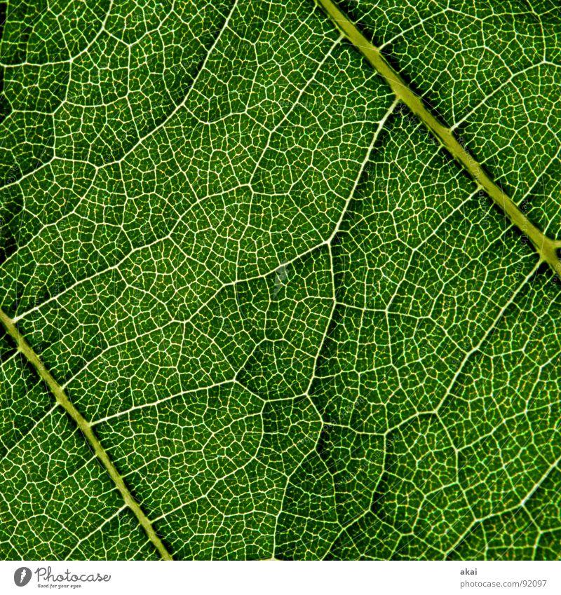 Das Blatt 4 Pflanze grün Botanik Pflanzenteile Kletterpflanzen pflanzlich Umwelt Sträucher Gegenlicht Hintergrundbild Baum nah Photosynthese reif Gefäße