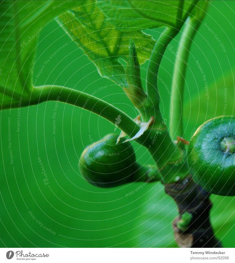 Ficus carica Pflanze Feigenbaum Baum Feigenblatt Blattgrün Stengel fruchtig saftig vitaminreich Sommer Frühling giftgrün Grünpflanze Garten Wachstum