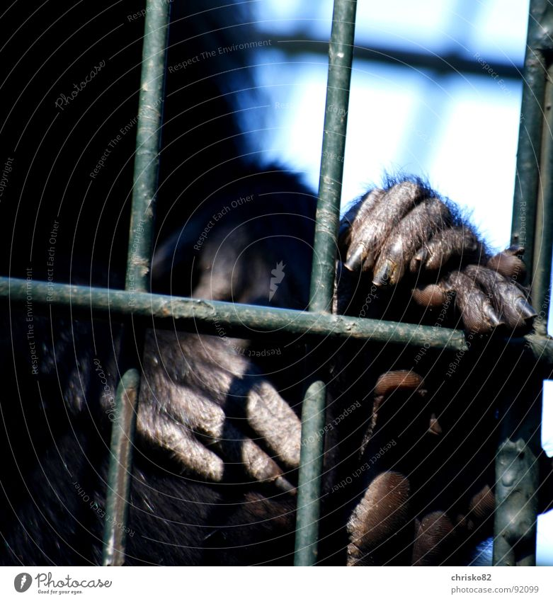Hinter Gittern Affen Menschenaffen Tier Zoo Käfig Gehege gefangen Hand Fell Finger Nagel Fingernagel Zehen gestikulieren Körperhaltung Köln Tunnel Madagaskar