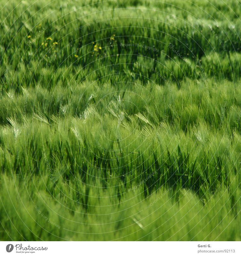 wild thing grün Sommer Pflanze Gras Feld Wind Wildtier frisch Landwirtschaft Korn Ernte Ackerbau Halm durcheinander Kornfeld wehen