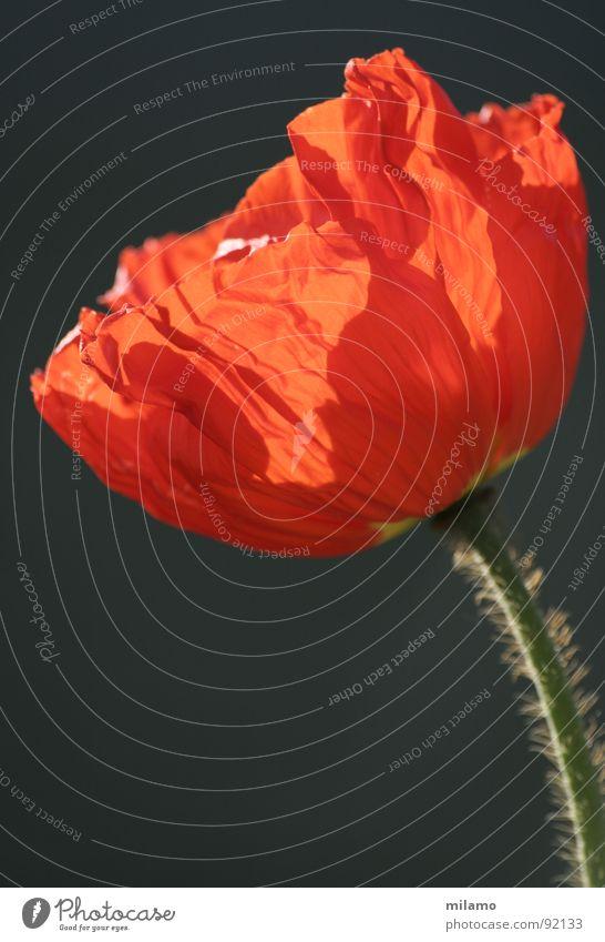 Applaus für den Klatschmohn! Blume rot Sommer Blüte Beleuchtung Feld zart Stengel Blühend Wildtier Mohn Blütenblatt entfalten Härchen
