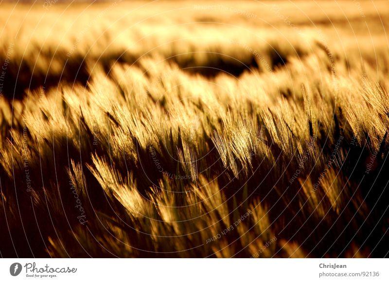 Gerstenfeld Feld gelb Abend Abendsonne Beleuchtung Stimmung Agra Landwirtschaft Halm sonne atmosphäre Korn Abenddämmerung Natur Wind wehen nikon d40 Spuren