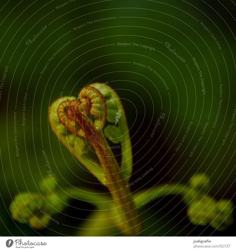 Farn Natur grün Pflanze Sommer Leben Kraft Herz Wachstum Faust Trieb Echte Farne gedeihen Jungpflanze zusammengerollt