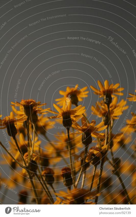 FLOWERS Blume Kornblume gelb Blüte Biene Honig Stengel Pollen Stempel Himmel