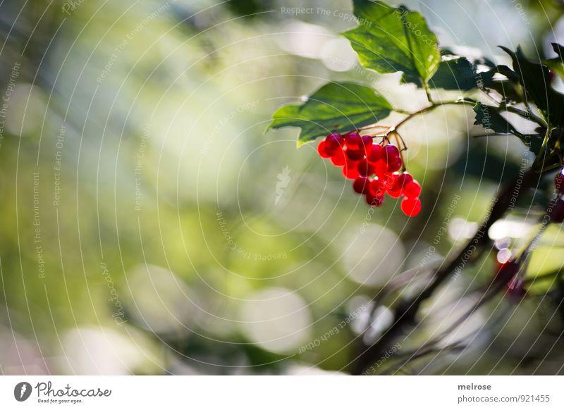 beeriges Bokeh Natur Pflanze grün weiß Sommer Sonne Baum Erholung rot Blatt Wald Blüte natürlich braun leuchten Sträucher