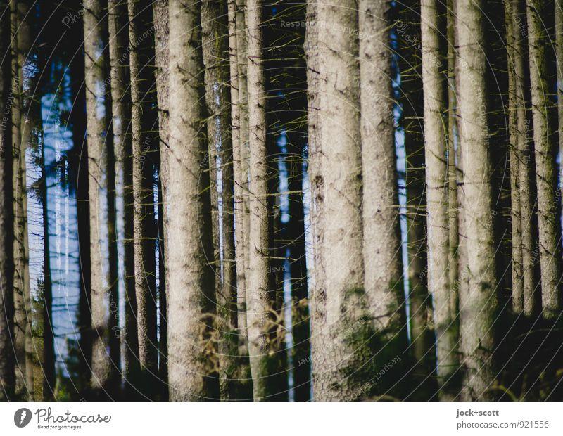 ein Wald doppelt vor lauter Bäumen harmonisch Herbst Nadelbaum Baumstamm lang natürlich viele Wärme Kraft Einigkeit Idylle Inspiration Klima Natur