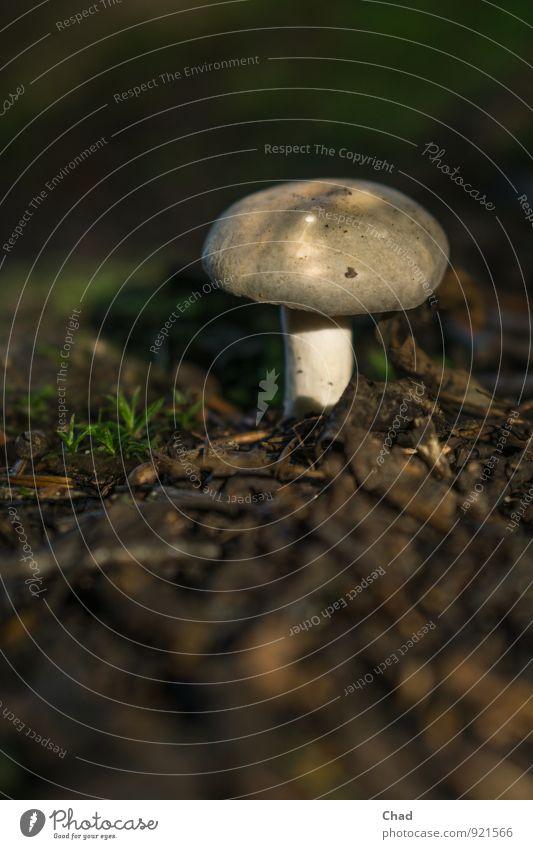 Grau Pilz Lebensmittel Ernährung Mittagessen Bioprodukte Umwelt Natur Pflanze Tier Erde Gras Wald entdecken Essen dunkel frisch klein natürlich nerdig braun
