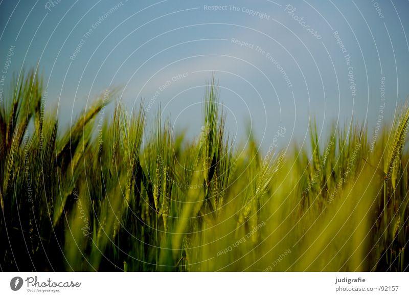 Gerste Feld Ackerbau grün Sommer Wachstum gedeihen Landwirtschaft Lebensmittel Ähren Vegetarische Ernährung Getreide Himmel blau Ernte rispen