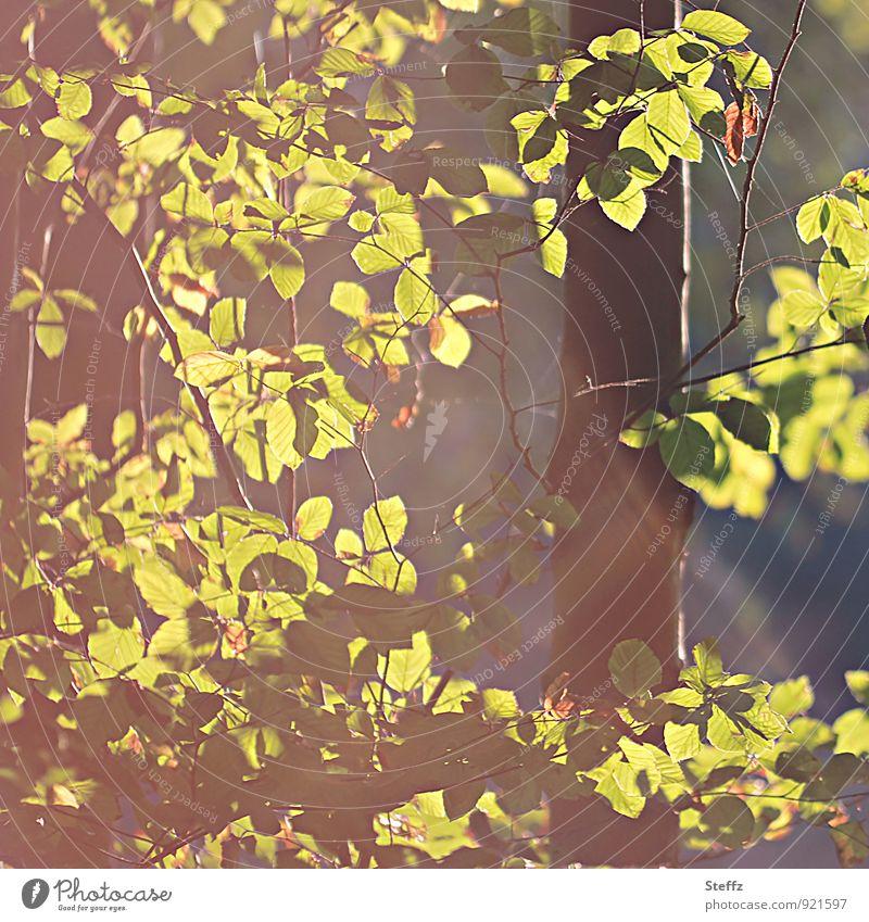 Oktoberlicht Natur Pflanze Herbst Schönes Wetter Baum Blatt Buche Buchenwald Buchenblatt Wald Herbstwald schön gelb grün Herbstgefühle Lichtstimmung