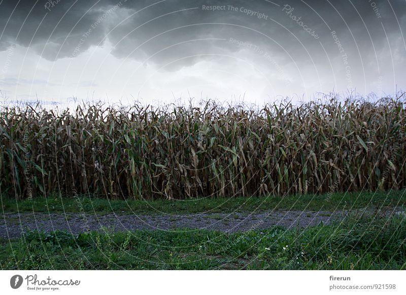 Maisfeld Natur Landschaft Pflanze Erde Himmel Wolken Gewitterwolken Herbst Wetter schlechtes Wetter Unwetter Wind Blatt Nutzpflanze Maisanbau Maiskolben