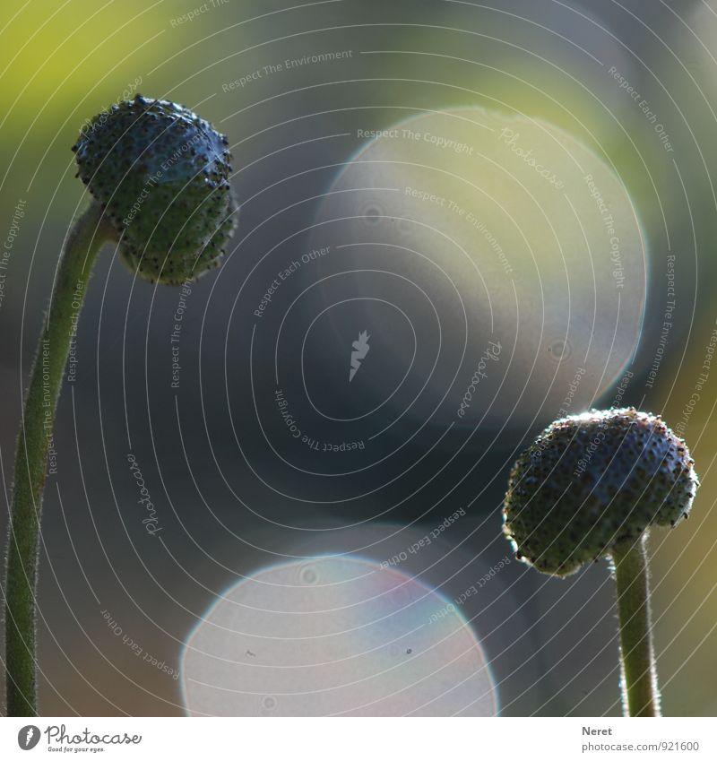 Spiel im Licht Natur Pflanze Blume Blüte Spielen ästhetisch blau braun grün achtsam Partnerschaft elegant Zuneigung Farbfoto Gedeckte Farben Außenaufnahme