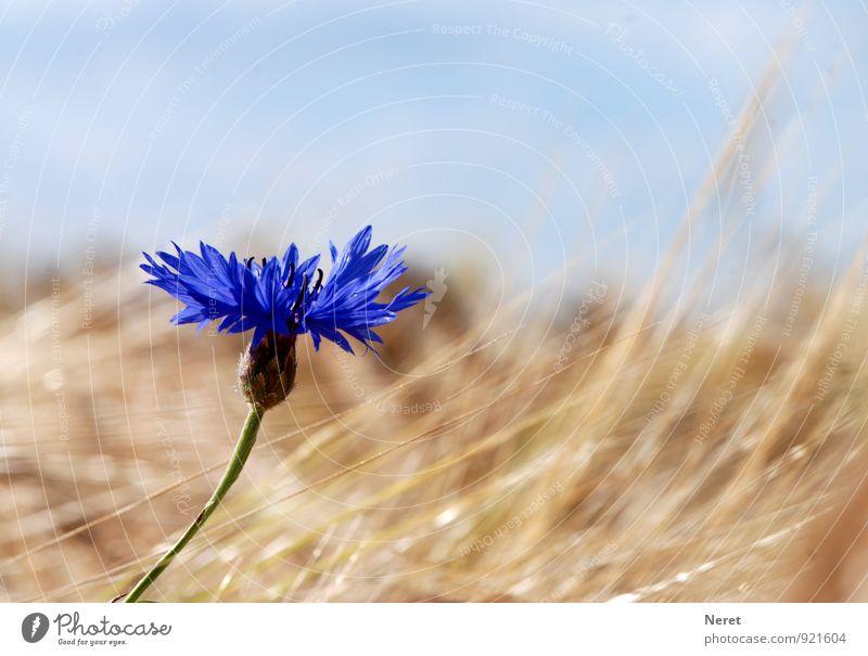Kornblume vor Weizenfeld Natur Pflanze Himmel Blume Blüte Flockenblume Feld Rückeroberung leuchten ästhetisch blau wie früher tief blau Farbfoto Außenaufnahme