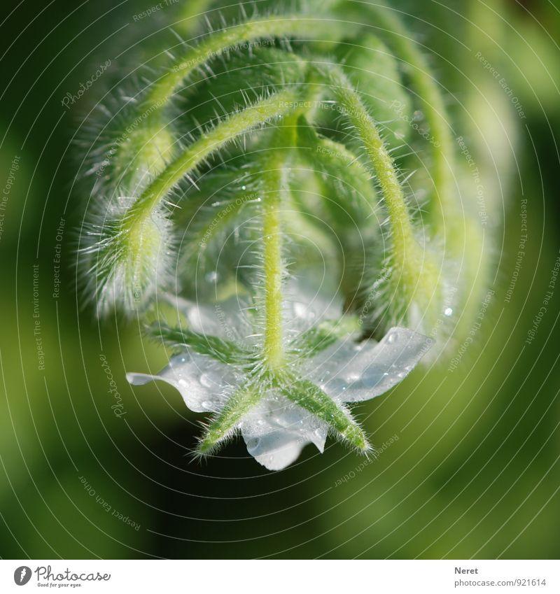 Borretsch weiß blühend Natur Pflanze grün Blüte ästhetisch