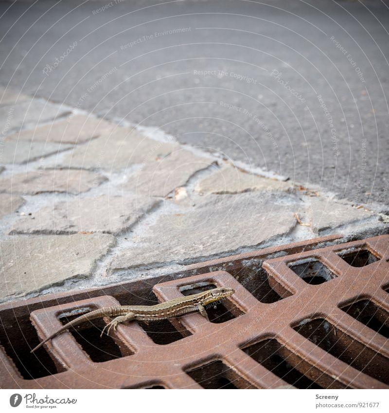 Aufm Rost abhängen Natur Tier Echsen Echte Eidechsen 1 Stein krabbeln liegen klein Gelassenheit geduldig ruhig Gully Asphalt Bodenbelag Farbfoto Außenaufnahme