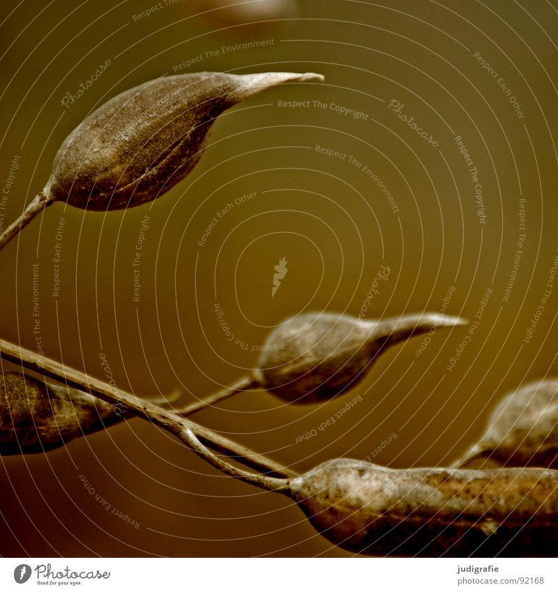 Vom letzten Sommer trocken Pflanze Herbst Kräuter & Gewürze Wiese Schote schwarz Umwelt Botanik pflanzlich welk Naturphänomene Trauer Stimmung dunkel grau trist
