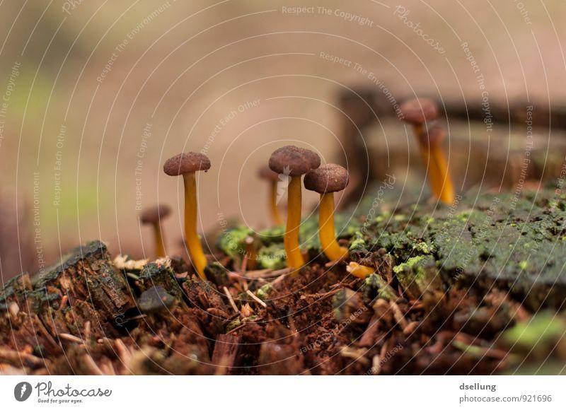 Kolonie Umwelt Natur Pflanze Herbst Baum Moos Pilz Pilzhut Baumstumpf Wald frisch Gesundheit natürlich schleimig braun grün orange feucht Pilze suchen Farbfoto