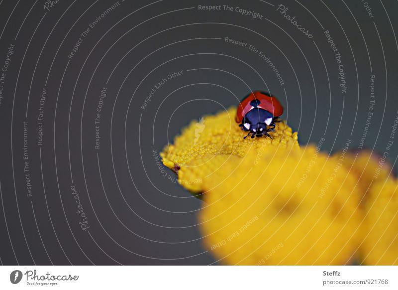 Happy Birthday Photocase! | Glücksbringer Natur Sommer Blume rot gelb krabbeln Käfer Marienkäfer Glückwünsche Sommerblumen Vor dunklem Hintergrund