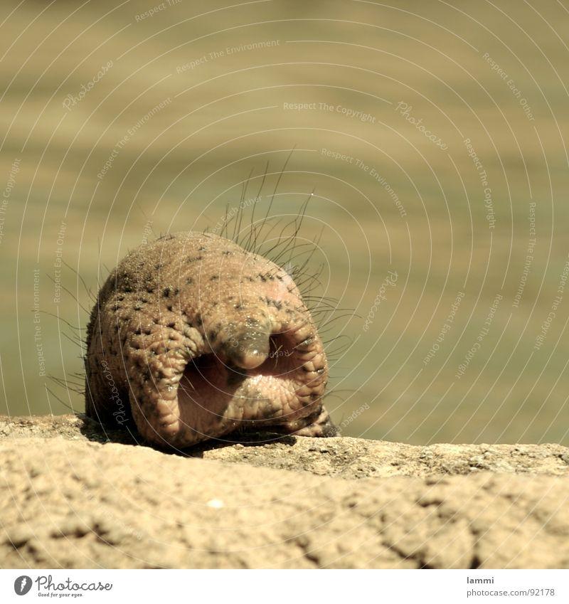 ist die Luft rein? Zoo Elefant Rüssel tauchen Mauer Säugetier Geruch Vorsicht Schwimmen & Baden Haare & Frisuren Nase fangen beriechen überblicken