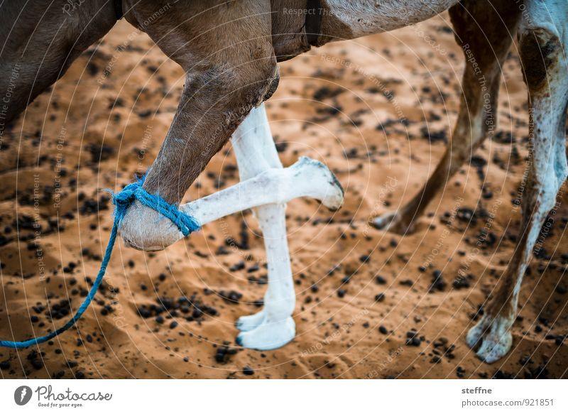 Tierisch gut: 4 Natur Sonnenaufgang Sonnenuntergang Nutztier 1 Dromedar Kamel Wüste Sahara Marokko Farbfoto Außenaufnahme Menschenleer Tierporträt