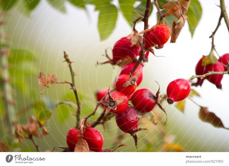 Hagebutten Natur Pflanze grün Sommer rot Blatt Herbst natürlich Frucht Ast Medikament Botanik reif Samen Beeren herbstlich