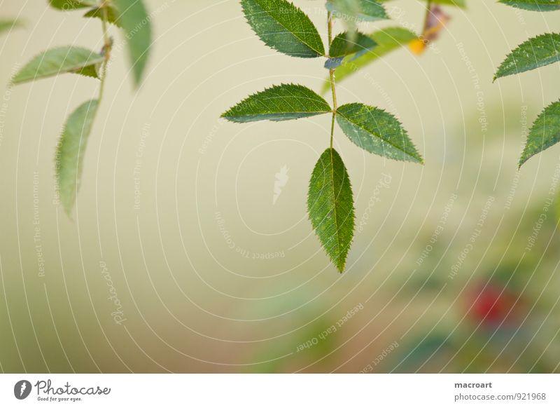 Hagebutte Natur Pflanze grün Sommer rot Blatt Herbst natürlich Ast Medikament Botanik reif Beeren herbstlich stachelig Heilpflanzen